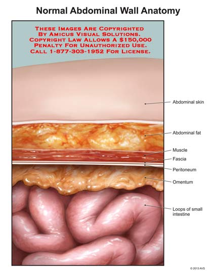 1325301x normal abdominal wall anatomy anatomy exhibits 1325301x normal abdominal wall anatomy ccuart Gallery