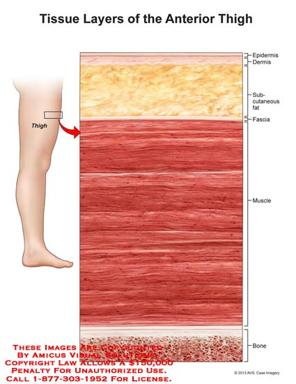 1325901x Tissue Layers Of Anterior Thigh Anatomy Exhibits