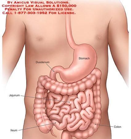 Intestines Anatomy Exhibits