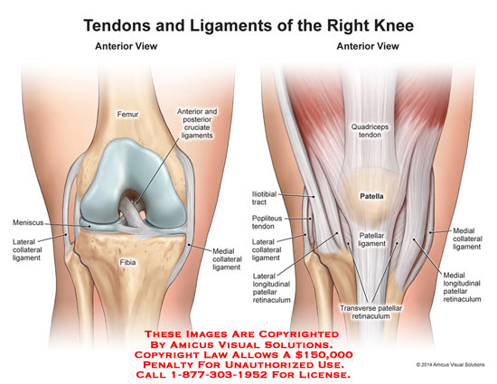 1410204b Tendons And Ligaments Of The Right Knee Anatomy Exhibits