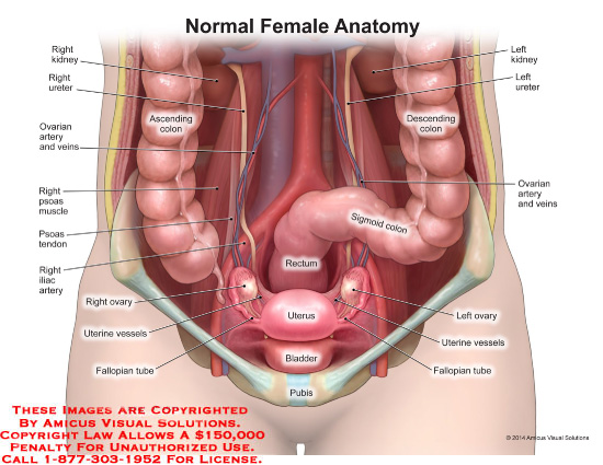 1411705xv2 Normal Female Anatomy Anatomy Exhibits