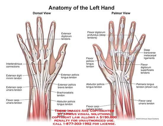 1422010x Anatomy Of The Left Hand Anatomy Exhibits
