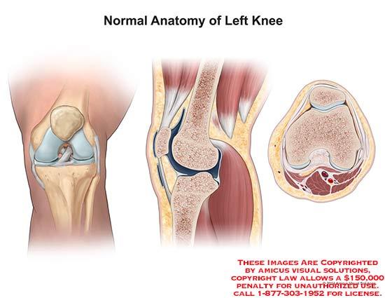 1425001x Normal Anatomy Of Left Knee Anatomy Exhibits