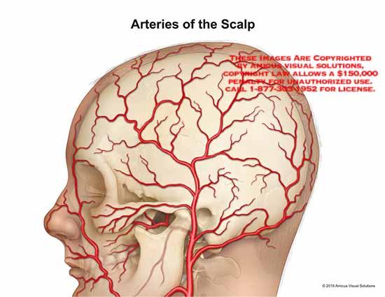 15017_03X) Arteries of the Scalp – Anatomy Exhibits