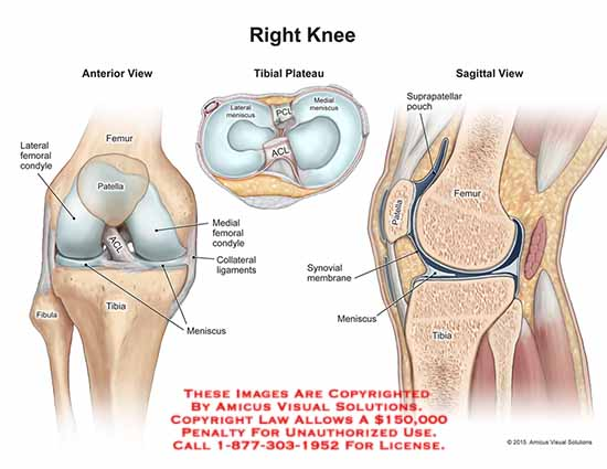 1509501a right knee anatomy exhibits 1509501a right knee ccuart Choice Image